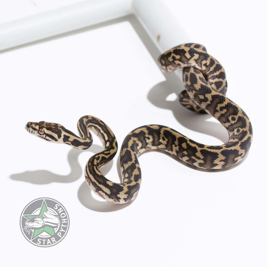 2017 double het Albino Granite female