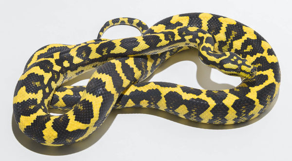 Morelia spilota cheynei - Jungle Carpet Python