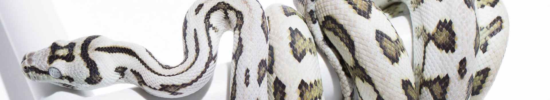 Carpet Pythons for sale