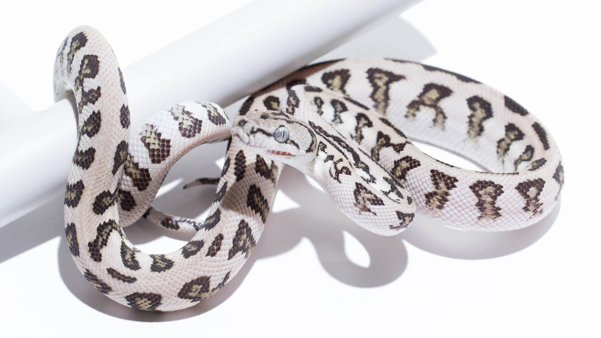 Axanthic Carpet Pythons · Jungle Jaguar