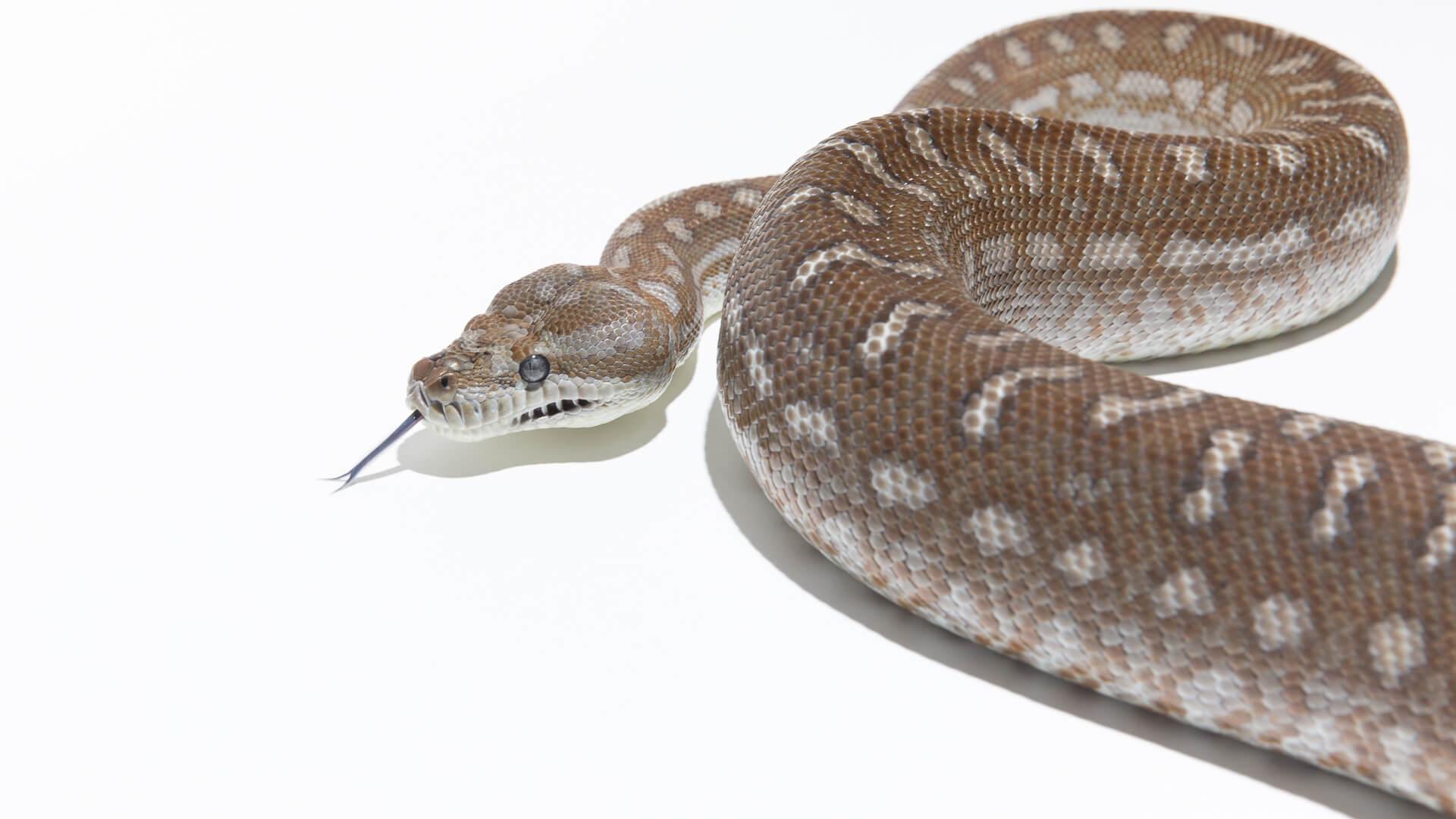 Bredli Carpet Python Size Taraba Home Review