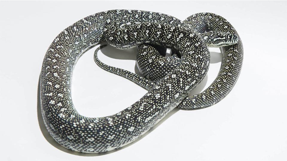 Diamond Pythons - Morelia spilota spilota