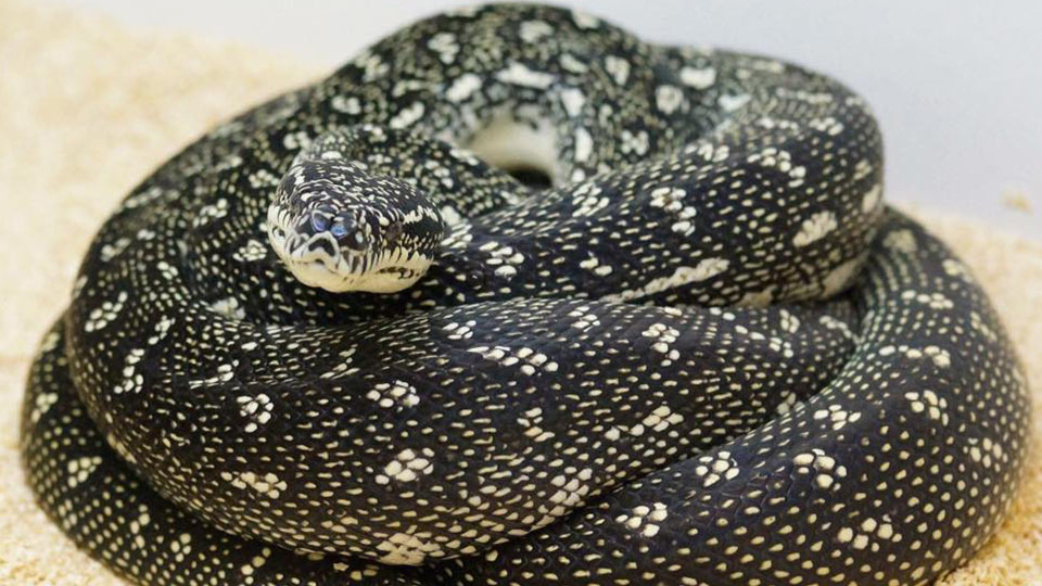 Diamond Pythons Morelia Spilota Spilota