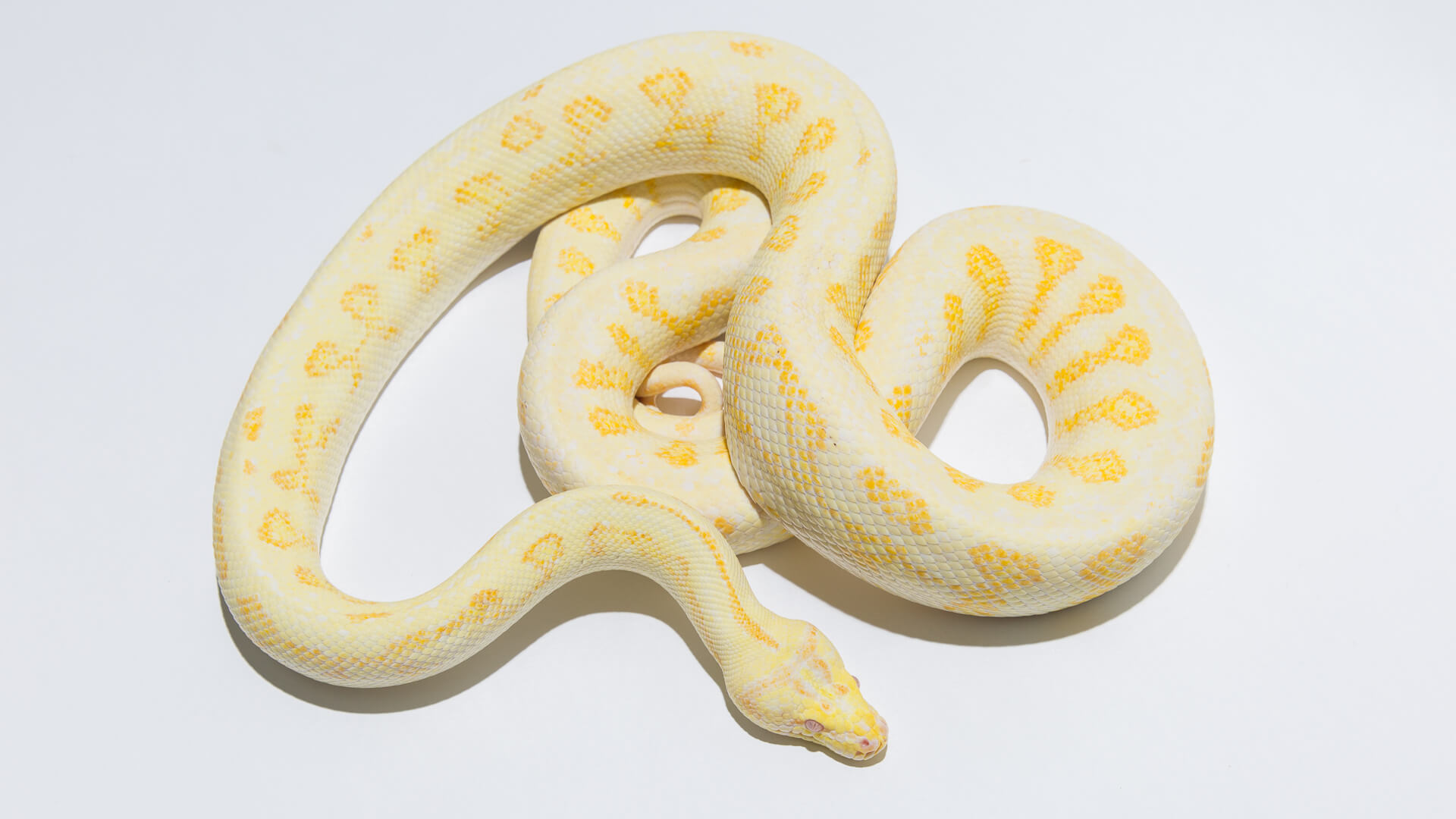 Albino Carpet Pythons