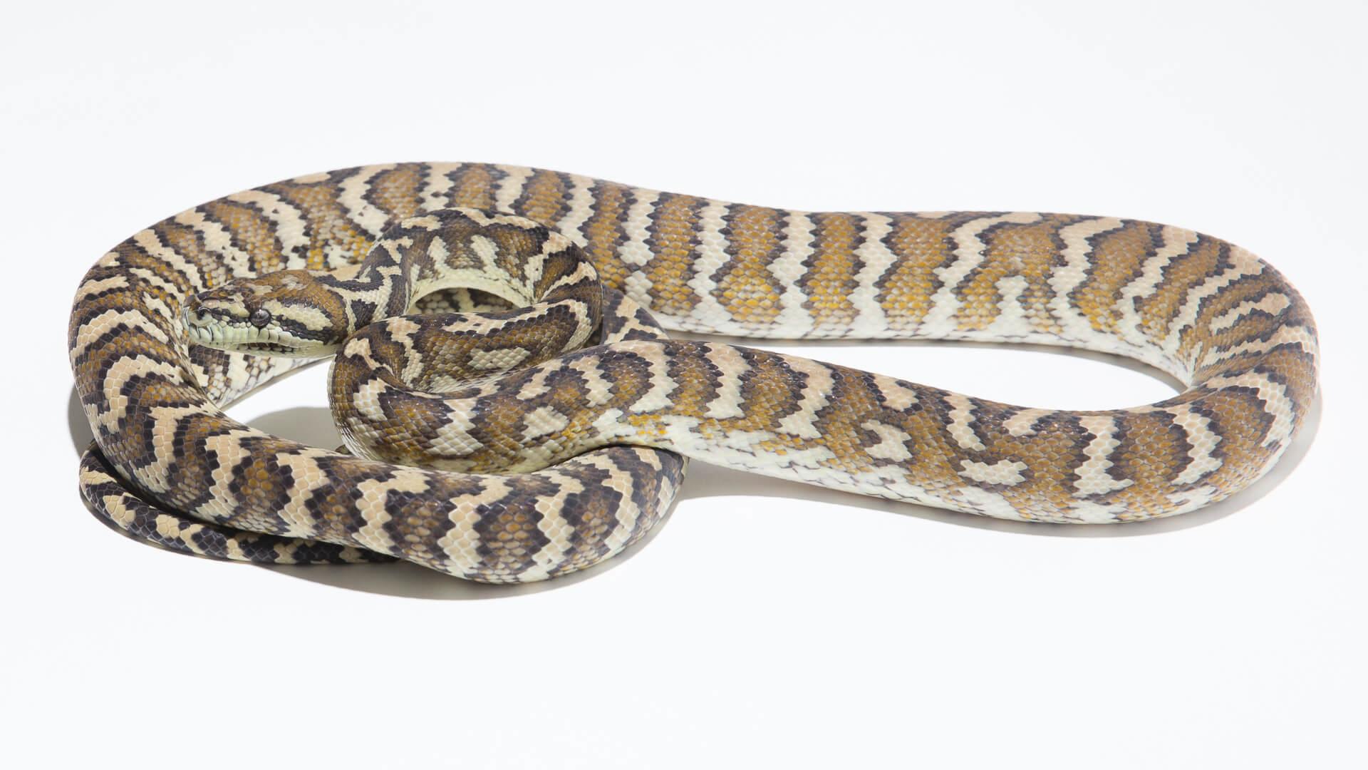 1700d5665f5 Carpet Python Subspecies - The Morelia Spilota Complex