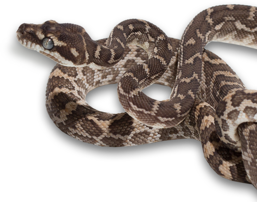 Morelia carinata - Rough Scaled Python